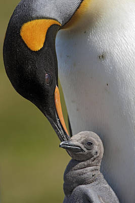 Baby Bird Photograph - King Penguin Aptenodytes Patagonicus by Ingo Arndt