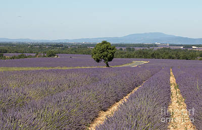Photograph - Lavender Field In Provence by Pietro Ebner