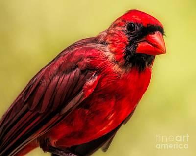 Photograph - Male Cardinal by Paulette Thomas