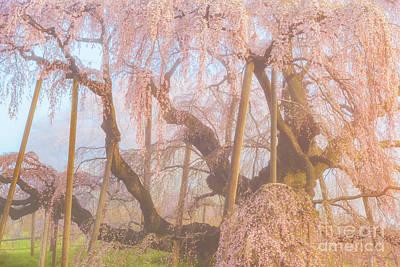 Photograph - Miharu Takizakura Weeping Cherry07 by Tatsuya Atarashi