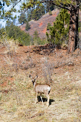 Steven Krull Royalty-Free and Rights-Managed Images - Mule Deer in the Pike National Forest of Colorado by Steven Krull