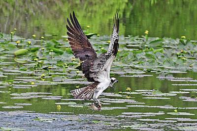 Photograph - Osprey Fishing by Jack Moskovita