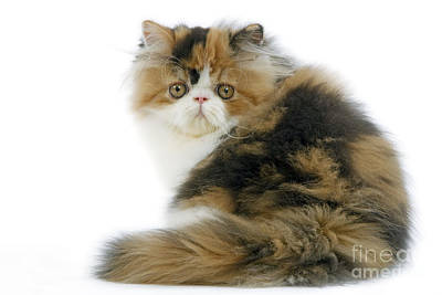 Persian Cat Art Print by Jean-Michel Labat