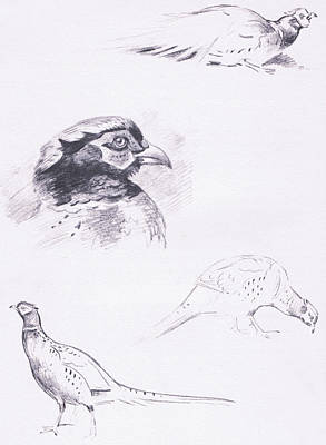 Pheasant Drawing - Pheasants by Archibald Thorburn