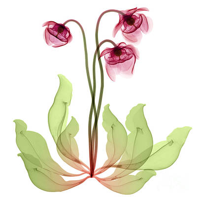 Photograph - Pitcher Plant Flowers, X-ray by Ted Kinsman