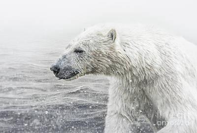 Photograph - Polar Bear by Shaun Wilkinson