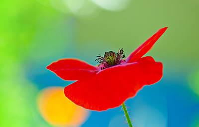 Decorativ Photograph - Poppy by Silke Magino