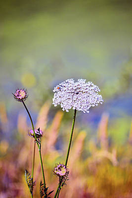 Photograph - Queen Anne's Lace by Bonnie Bruno