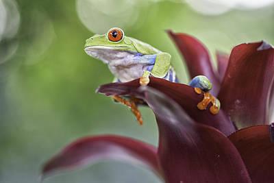 Red Eyed Tree Frog Art Print