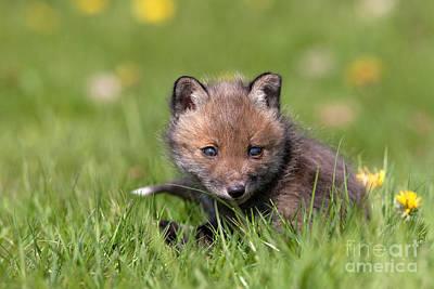 Red Fox Vulpes Vulpes Art Print by Gerard Lacz