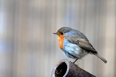 Photograph - Robin by Chris Day