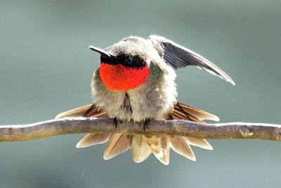 Farm House Style - Ruby-throated Hummingbird  by Cindy Treger