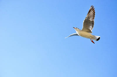 Photograph - Seagull In The Sky by Carl Ning