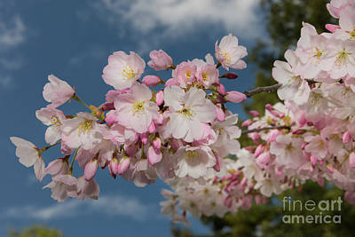 Silicon Valley Cherry Blossoms Art Print by Glenn Franco Simmons