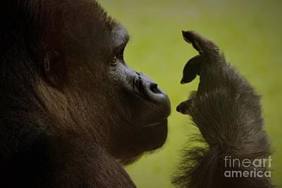 Silverback Gorilla Art Print by Paulette Thomas