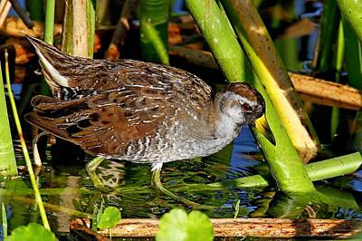 Photograph - Sora Rail by Ira Runyan
