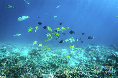 Underwater Photograph - Underwater Coral Reef And Fish In Indian Ocean, Maldives. by Michal Bednarek