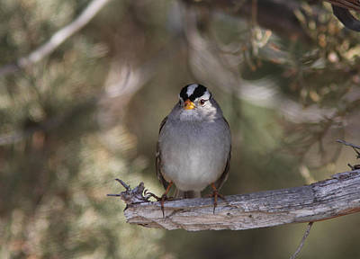 Tree Photograph - White-crowned Sparrow by Gary Wing