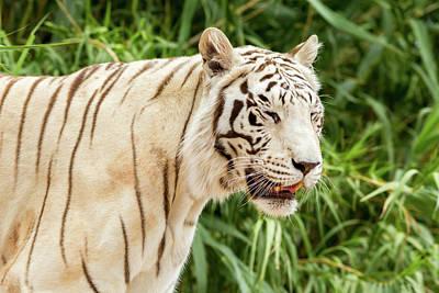 White Tiger Art Print by Jon Manjeot