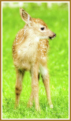 Photograph - Whitetailed Deer Fawn by A Gurmankin