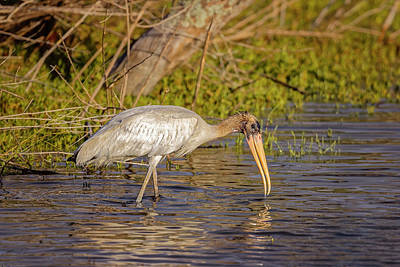 Photograph - Wood Stork by Peter Lakomy