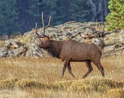 Photograph - 6 X 1 Loser Bull Elk by Ronald Lutz