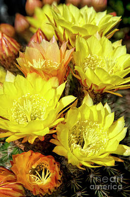 Yellow Cactus Flowers Art Print by Jim And Emily Bush