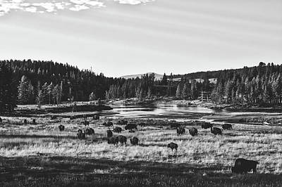 Photograph - Yellowstone Bison by L O C