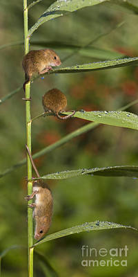 Mouse Photograph - Young Eurasian Harvest Mice by Jean-Louis Klein & Marie-Luce Hubert