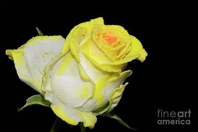Photograph - Yellow Rose by Elvira Ladocki
