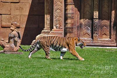 Photograph - 61- Sumatran Tiger by Joseph Keane