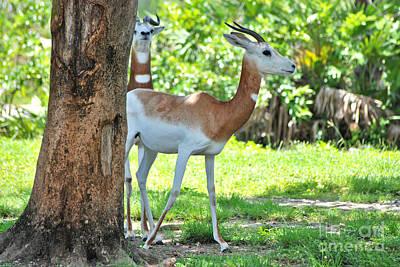 Photograph - 64- Dama Gazelles by Joseph Keane