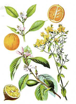 Various Medicinal Plants Art Print