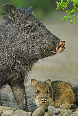 Photograph - 650520125v Javelinas Dicolytes Tajacu Wild Texas by Dave Welling