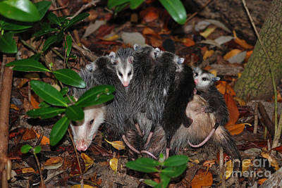Photograph - 67- Possums All Aboard by Joseph Keane