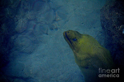 Photograph - 68- Moray Eel by Joseph Keane