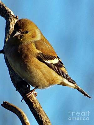 American Goldfinch  Art Print by Cindy Treger