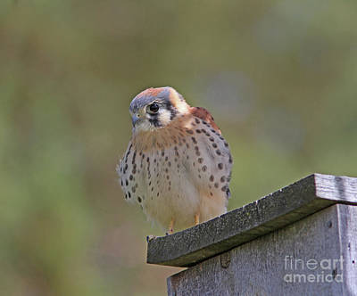 Wall Art - Photograph - American Kestrel by Gary Wing