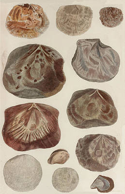 Animals Drawings - Aquatic Animals - Seafood - Shells - Mussels by Art Makes Happy