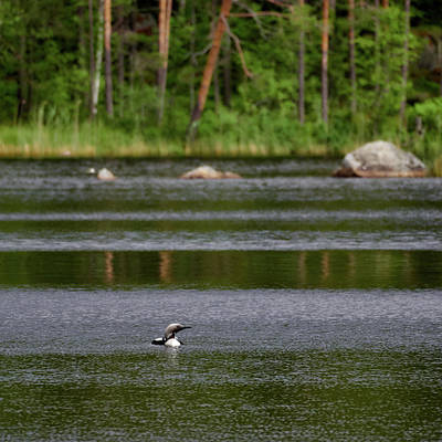 Photograph - Arctic Loon by Jouko Lehto