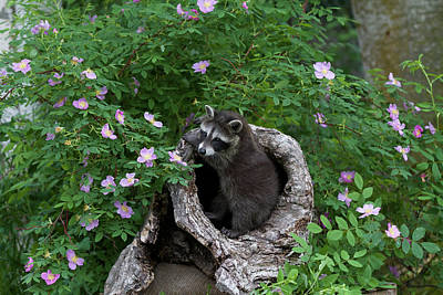 Photograph - Baby Raccoon by Dee Carpenter