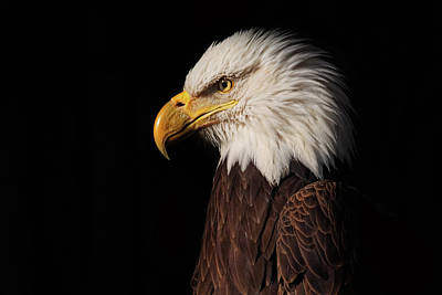 Photograph - Bald Eagle  by Brian Cross