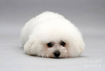 House Pet Photograph - Bichon Frise by Jane Burton