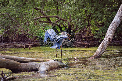Photograph - Blue Heron by Peter Lakomy