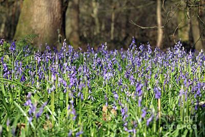 Bluebells At Banstead Wood Surrey Uk Art Print