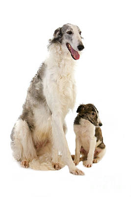 Pet Care Photograph - Borzoi Or Russian Wolfhound by Gerard Lacz