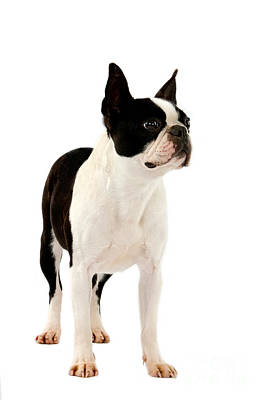 Bitch Wall Art - Photograph - Boston Terrier Dog by Gerard Lacz
