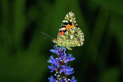 Photograph - Butterfly by Jay Stockhaus