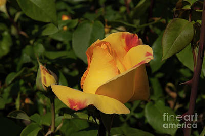 Photograph - Celebrity Rose by Glenn Franco Simmons