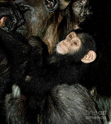 Chimpanzee Pan Troglodytes Print by Gerard Lacz